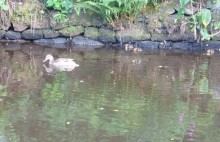 Stubbings duck family