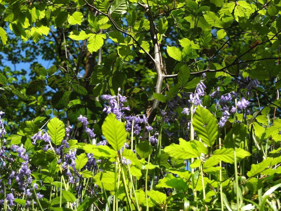 Clinging Bluebells 1