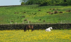 Horses in golden field
