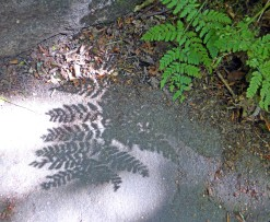 Eaves Wood fern shadow 2